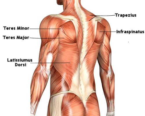 Plecy – mięśnie grzbietu