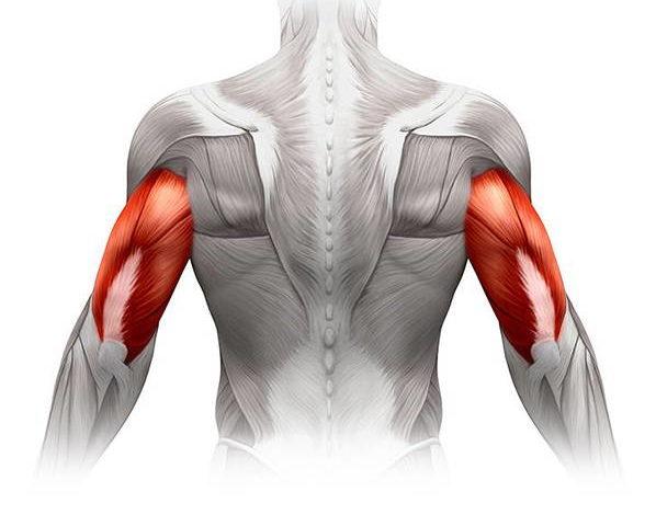 Triceps – anatomia mięśnia trójgłowego ramienia