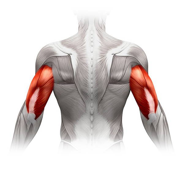 mięśnie ramion - triceps. Obrazek poglądowy anatomicznej budowy