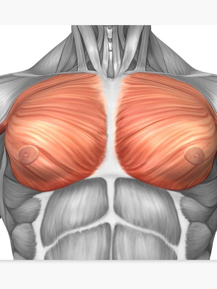 Poglądowy rysunek mięśni klatki piersiowej, na symulacji komputerowej
