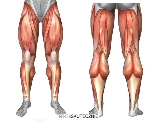 Mięśnie nóg – czworogłowe i dwugłowe uda