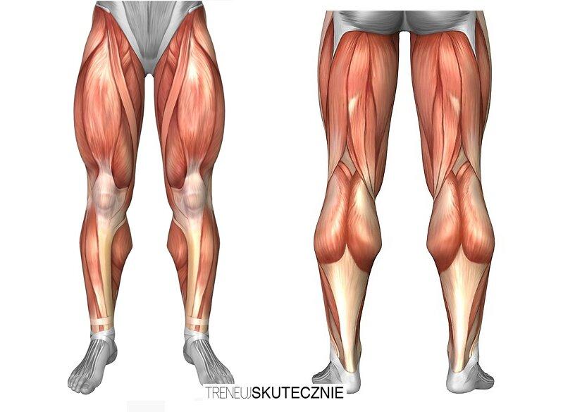 mięśnie ud - anatomia