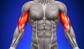 Biceps – anatomia mięśnia dwugłowego
